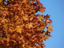 Arbre d'automne Couleurs rouges en automne Photo libre de droits