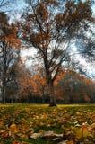 Arbre d'automne de Colourfull Images libres de droits