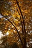 Arbre d'automne sur le fond de lumière du soleil Images libres de droits