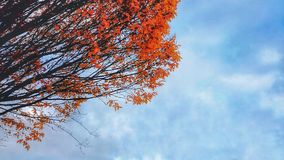 Arbre d'Autum contre le ciel bleu images stock