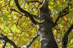 Arbre d'Autumn Foliage à Tokyo Photo stock