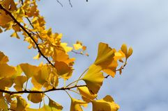 Arbre d'Autumn Leaves Ginko Biloba Maidenhair Images libres de droits