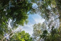 Arbre d'auvent de forêt à feuilles caduques mélangée en Thaïlande Photos stock