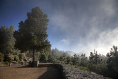 Arbre d'EL Teide Photographie stock libre de droits