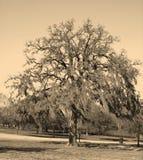 arbre d'Espagnol de mousse Photos libres de droits