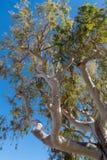 Arbre d'eucalyptus Images libres de droits