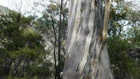 Arbre d'eucalyptus banque de vidéos