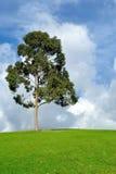 Arbre d'eucalyptus Photographie stock
