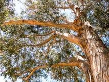 Arbre d'eucalyptus Image stock