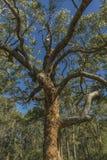 Arbre d'eucalyptus photographie stock libre de droits