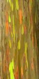 Arbre d'eucalyptus d'arc-en-ciel Images stock