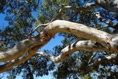 Arbre d'eucalyptus, vue d'angle faible Photo libre de droits