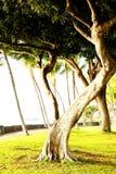 Arbre d'Hawaï Photo stock