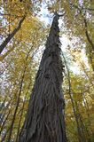 Arbre d'hickory dans l'arborétum, Ann Arbor, Michigan Etats-Unis image libre de droits