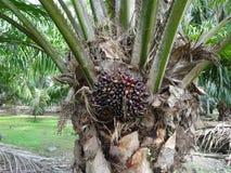 Arbre d'huile de palme Photographie stock