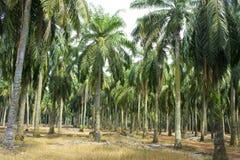 Arbre d'huile de palmier Photos libres de droits