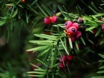 Arbre d'if de baccata de Taxus photographie stock libre de droits
