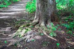 Arbre d'image de nature dans la forêt avec des racines image libre de droits