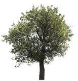 arbre d'isolement photographie stock libre de droits