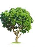 arbre d'isolement Photo libre de droits