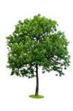 arbre d'isolement photographie stock