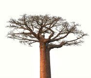 Arbre d'isolement de baobab du Madagascar Photographie stock