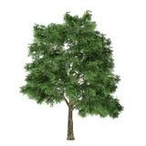 Arbre d'isolement. Quercus Photographie stock