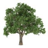 Arbre d'isolement. Quercus Images stock