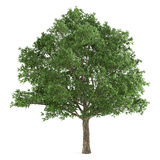 Arbre d'isolement. Quercus robur Image libre de droits