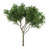 Arbre d'isolement. Salix fragilis Image stock