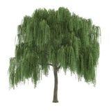 Arbre d'isolement. Saule de Salix Photo libre de droits