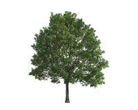 arbre de charme d 39 isolement photos libres de droits image 34045588. Black Bedroom Furniture Sets. Home Design Ideas