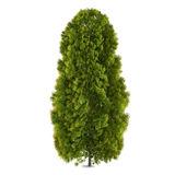 Arbre d'isolement. Thuja Photos stock
