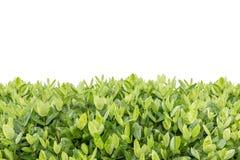 Arbre d'Ixora Fleur tropicale dans la décoration de jardin d'isolement dessus Photographie stock libre de droits