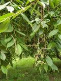 arbre d'Oiseau-cerise Photo libre de droits