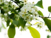 arbre d'Oiseau-cerise au printemps, belle branche de floraison de cerise d'oiseau une journée de printemps ensoleillée dans le ja Image stock