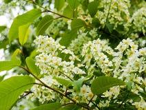 arbre d'Oiseau-cerise au printemps, belle branche de floraison de cerise d'oiseau une journée de printemps ensoleillée dans le ja Image libre de droits