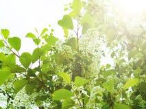 arbre d'Oiseau-cerise au printemps, belle branche de floraison de cerise d'oiseau une journée de printemps ensoleillée dans le ja Photographie stock