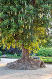 Arbre d'Ombus (Phytolacca Dioca) Photo libre de droits