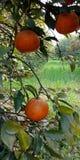 Arbre d'oranges frais Photo stock