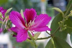 Arbre d'orchidée ou pata-De-vaca brésilien Image libre de droits