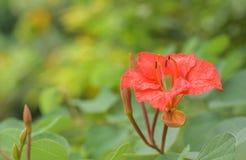 Arbre d'orchidée rouge photo libre de droits