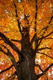Arbre d'?rable en automne photos stock
