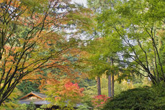 Arbre d'érable japonais droit grand dans l'automne Photographie stock libre de droits
