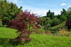 Arbre d'érable rouge dans un jardin japonais Image libre de droits