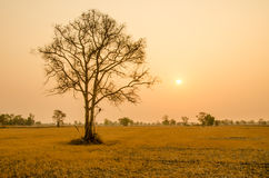 Arbre dans la saison sèche sur le fond de lever de soleil en Thaïlande Photographie stock libre de droits