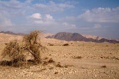 Arbre dans le désert Arava Image stock