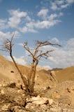 Arbre dans le désert Arava Images stock