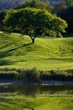 Arbre dans le domaine de golf Image libre de droits