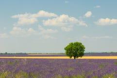 Arbre dans le domaine de lavande, Provence, France Image stock